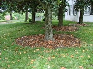 plantar una magnolia