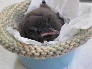 Qué hacer si encuentras un pájarito bebé en tu jardín - 1