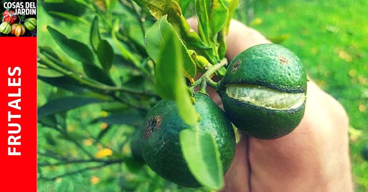 Las cáscaras agrietadas son otro problema que pueden tener nuestros cítricos, y en las naranjas, la rajadura puede afectar al fruto completo haciendo que ya no sean comestibles. Conoce las causas y cómo prevenirlo #plantas #jardin #jardineria #huerto #huertourbano #cultivar