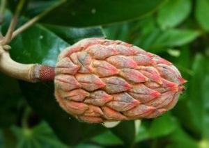 semilla de magnolia
