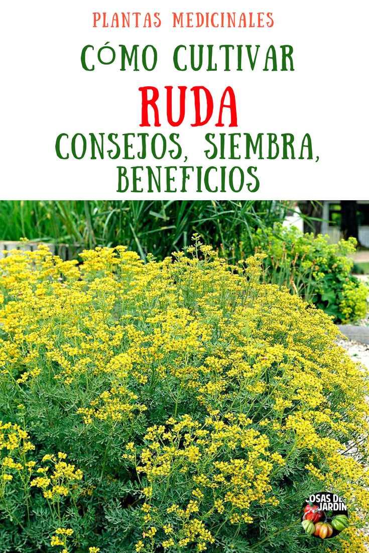 Cultivo de la Planta de Ruda. Siembra, Cultivo, Condiciones de sol y riego, cultivo en maceta, asociaciones y cosecha. Sigue Leyendo
