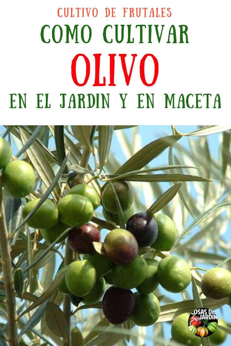 ¿Sabías que puedes cultivar olivos en tu jardín? Cultivar olivos es relativamente simple si puedes proveer la ubicación adecuada. #Cultivar #Plantas #Jardín #Jardineria #Huerto #Huertourbano