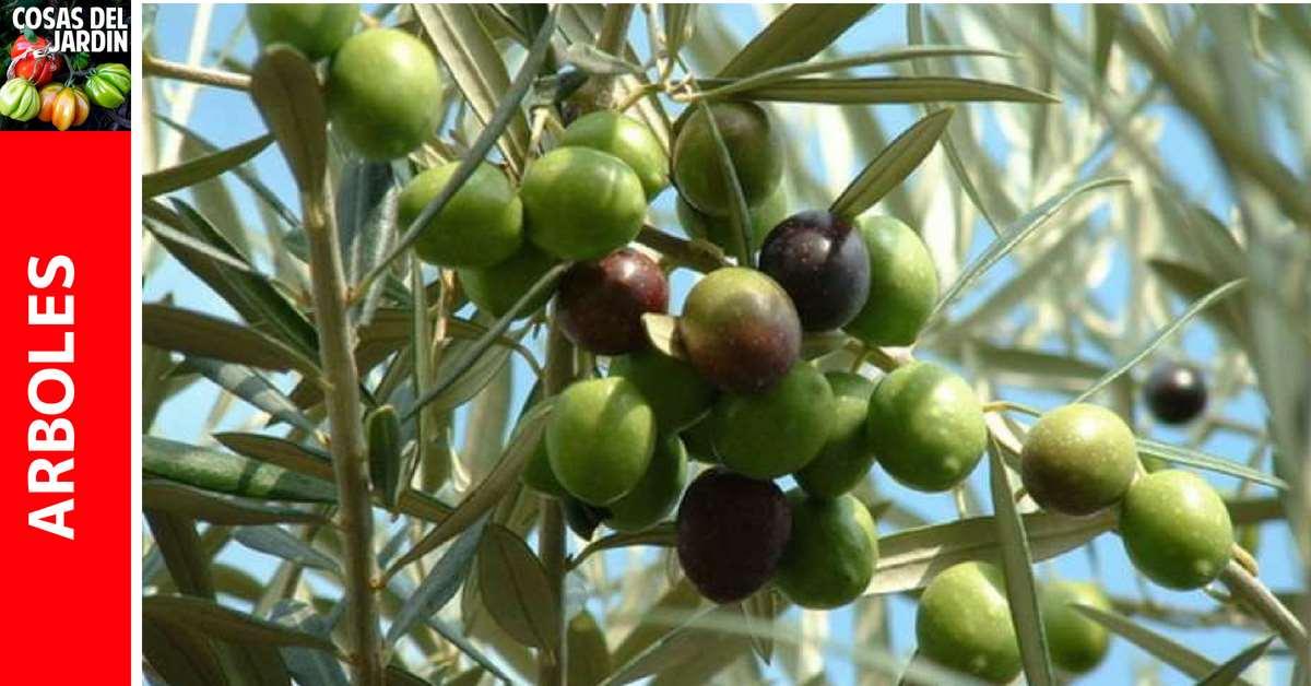 Información sobre cómo cultivar olivos Olivos. En el Jardín y en Maceta