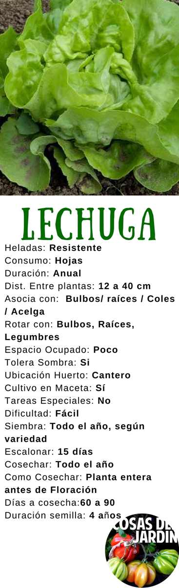 La lechuga es uno de los cultivos más faciles y mas importantes del huerto. En este articulo cubrimos todo el proceso de cultivo de lechuga, Siembra, cuidados, plagas y cosecha #Huerto #Huertourbano #Jardín #Jardinería #Cultivar