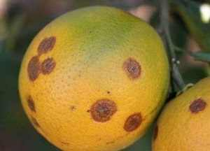 antracnosis fruto citrico