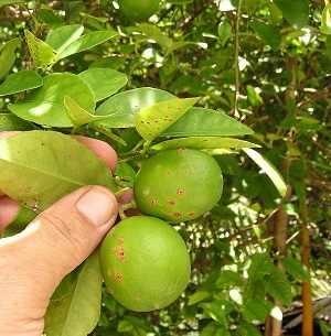 cancro fruto limonero