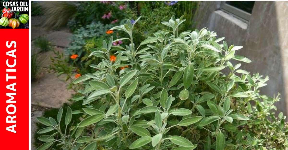 Guia de cultivo de Salvia – Cuidados, Reproducción, Poda, Maceta, Interior