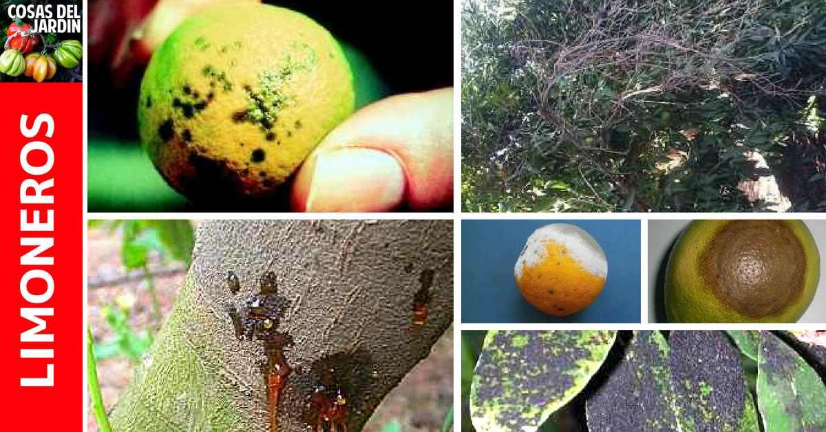 Una guia para identificar enfermedades de limoenros, cual es el tratamiento y prevencion. #Jardin #Jardinería #Huerto #Huertourbano #cultivar