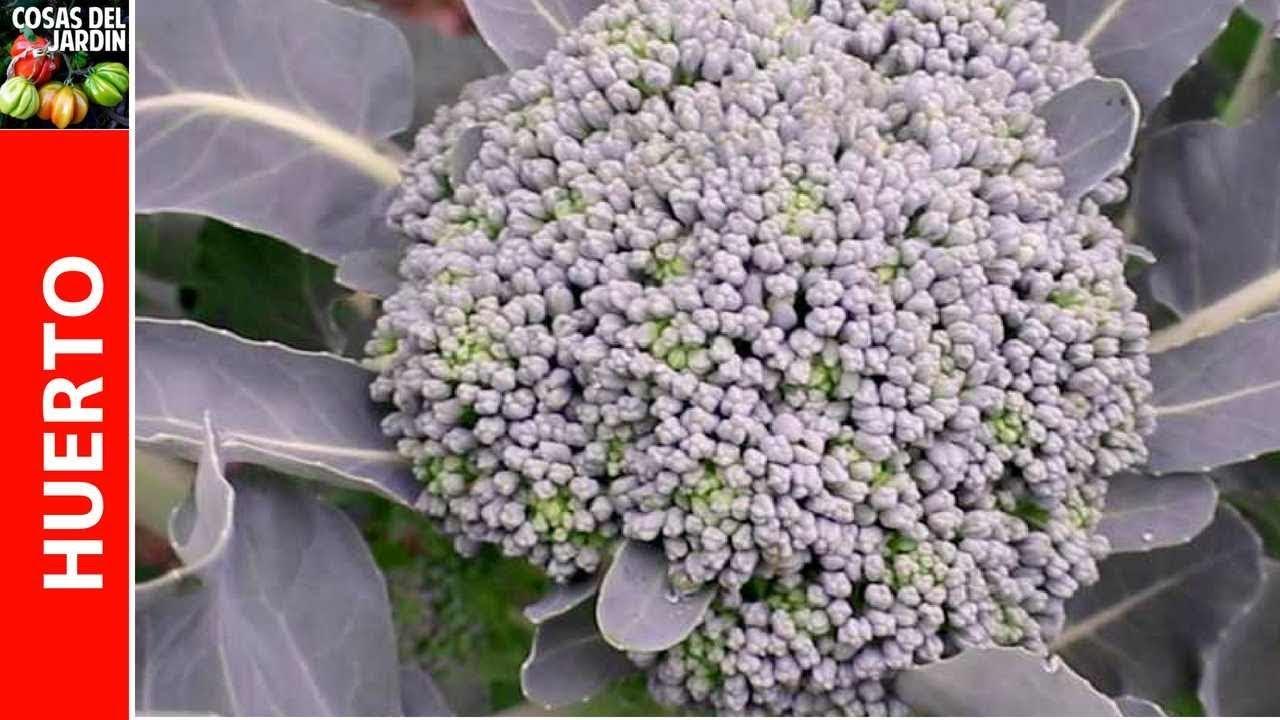 La cosecha de brócoli es a veces un poco complicada, pero hay algunas señales que puedes buscar que te indicarán si tu brócoli está listo para ser cosechado. #Huerto #Huertourbano #Jardín #Jardinería #Cultivar