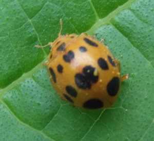 escarabajo de la calabaza
