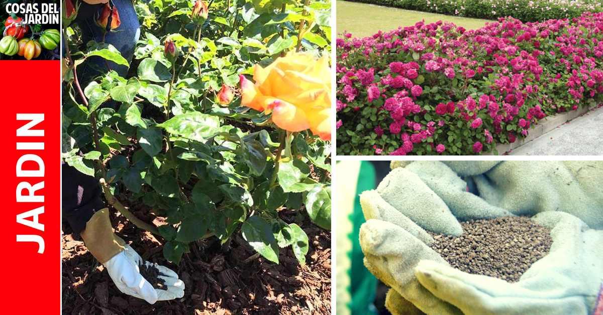 Como preparar abono casero para Rosas y como fertilizar las Rosas