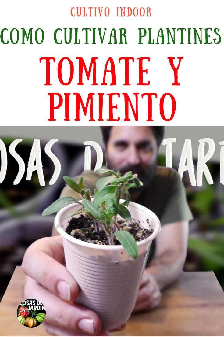 consejos para poder cultivar plantines de tomate pimiento y chile en interior con luz artificial. sigue leyendo para aprender sobre cultivo indoor