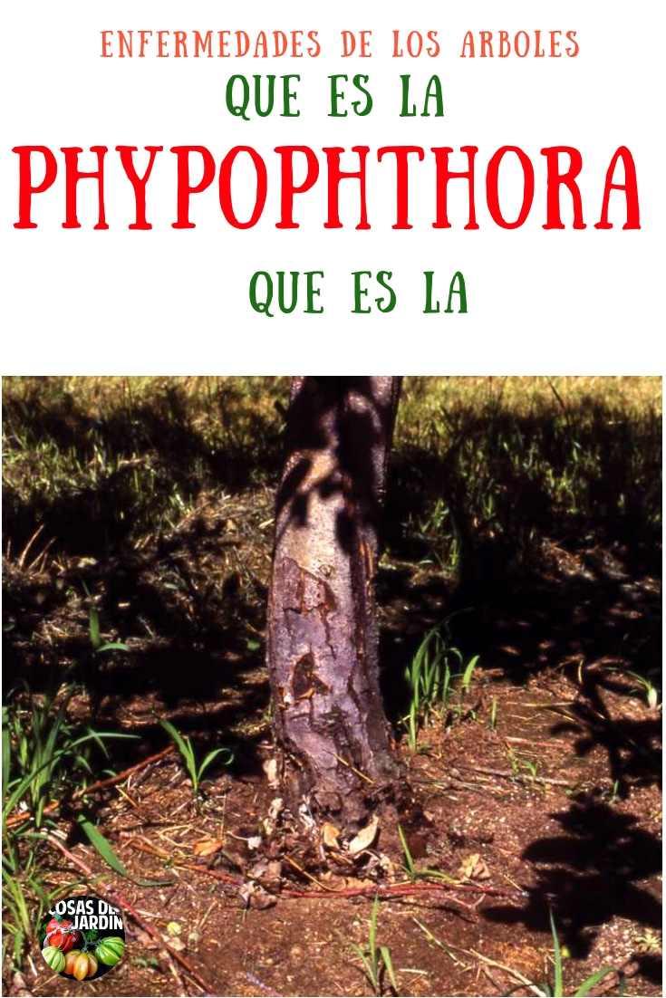 La Phytophthora es la peor pesadilla de un jardinero: un árbol joven, plantado amorosamente y bañado en afecto, se niega a establecerse. Por el contrario, varios años despues de la siembra se derrumba de un día para el otro. #Jardineria #Jardin #Huerto #Huertourbano #Cultivar