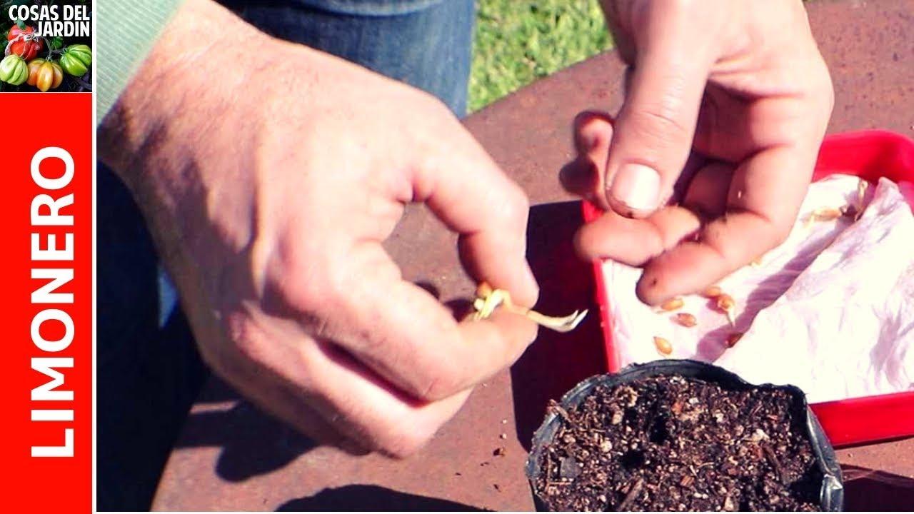 La propagación de semillas de limón o de cualquier otro cítrico es un proceso relativamente fácil, aunque es posible que tengas que tener mucha paciencia y entender que es posible que los limones que salgan de tu nuevo limonero no sean exactamente iguales al limón del que obtuviste las semillas #Huerto #Huertourbano #Jardin #Jardineria #Cultivar