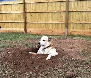 perro hace pozos buscando refugio