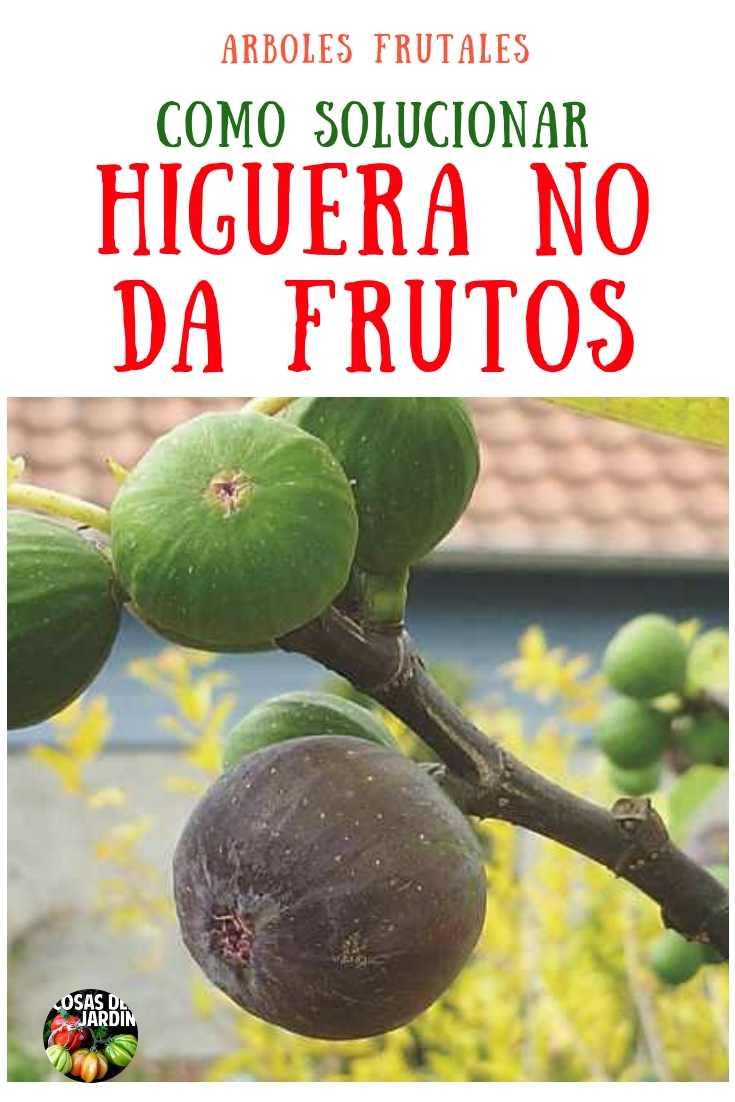 Cuando una higuera no da frutos, hay algunas razones por las que esto podría estar sucediendo. Sigue leyendo para aprender cómo solucionarlo #Jardin #Jardineria #Huerto #Huertourbano #Cultivar