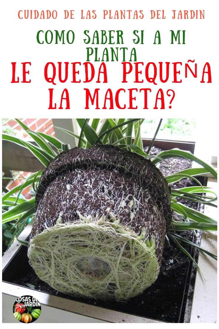 Se puede afirmar que, a todas las plantas en maceta que tengan un estado saludable tarde o temprano, les quedará pequeña la maceta. #Jardin #Jardineria #cultivar