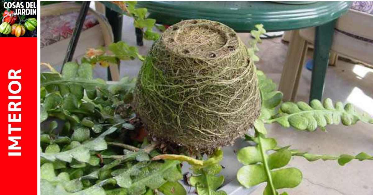 Cómo saber si a tu planta le queda pequeña la maceta. Consejos para cambiar de maceta