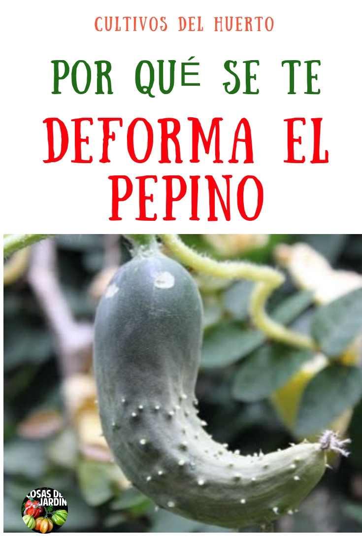 De vez en cuando terminas con pepinos deformes. ¿Alguna vez te has preguntado qué podría estar causando que esto le pase al pepino? Sigue leyendo para aprender más. #Jardin #Jardineria #Cultivar #huerto #huertourbano