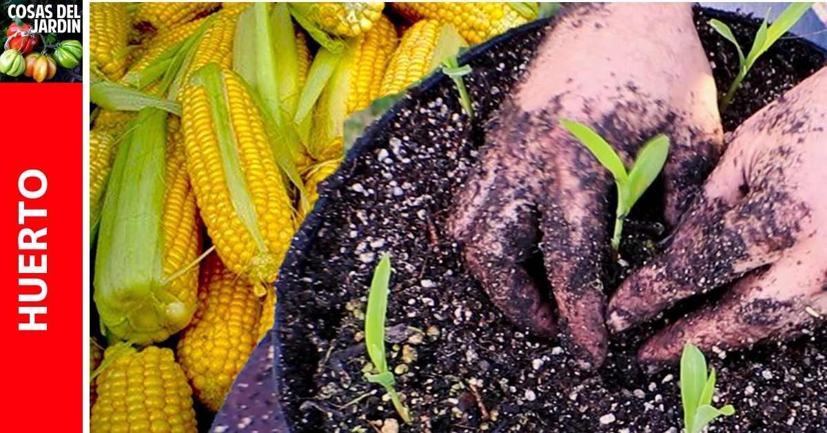 Cómo sembrar maiz en maceta. Cultivo de maiz en casa