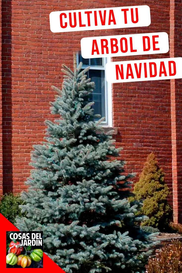 Consejos para elejir un arbol de Navidad vivo. Cuidados en Interior durante las fiestas y como plantarlo en tierra una vez que pasen las fiestas #Jardineria #Jardin #Navidad #Huerto #Huertourbano #Cultivar