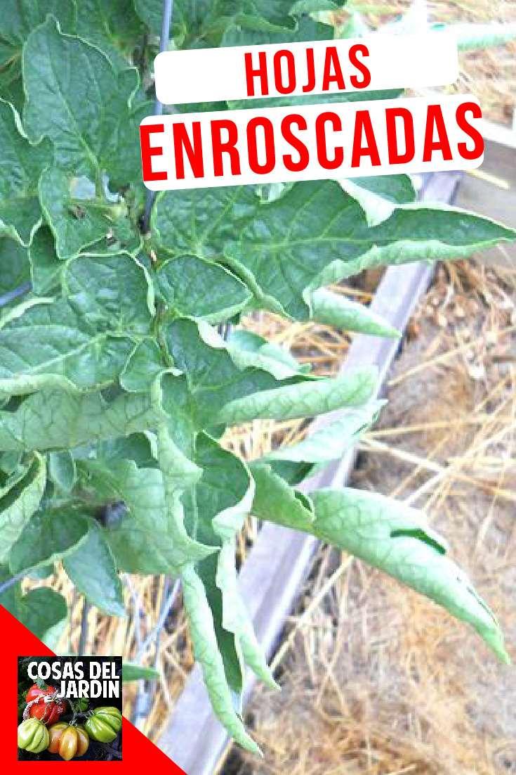 En este video exploraremos las distintas razones por las que se enrollan y deforman las hojas de nuestros tomates: Virus, Insectos y problemas fisiologícos. Y encontraremos formas de solucionarlo en la manera de que esto sea posible   #jardin #jardinagem #huerto #huertourbano
