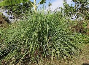 Estas 12 Plantas repelerán los mosquitos en tu jardin. Aquí aprenderás sobre cómo usarlas para que sean realmente efectivas. #huerto #Huertourbano #jardin #jardineria #cultivar