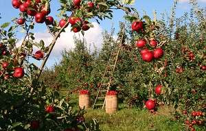Cuando planifiques donde ubicar tu árbol frutal, hay 6 cosas que debes tener en cuenta: Ubicacion, Terreno, espaciado y salud del arbol entre otras #huerto #huertourbano #jardin #jardineria #cultivar