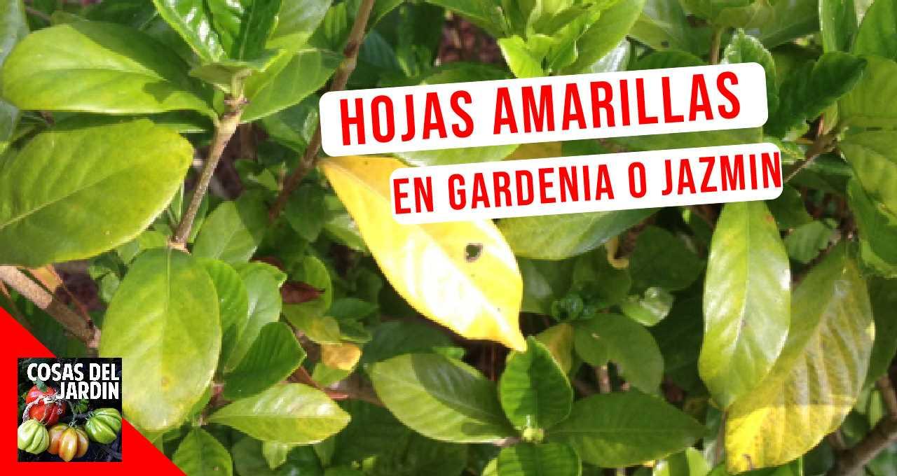 Si tu gardenia está llena de hojas amarillas, debes eliminar todas las causas posibles que no se ajustan hasta llegar a la que sí lo hace. #huerto #huertourbano #jardineria #jardin #cultivar