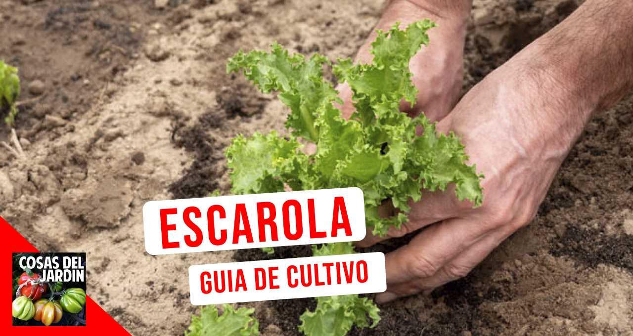 La escarola es un cultivo muy fácil que se puede disfrutar todo el año. Aprende como cultivarla en este artículo #huerto #huerta #jardin #jardineria #huertourbano #cultivar