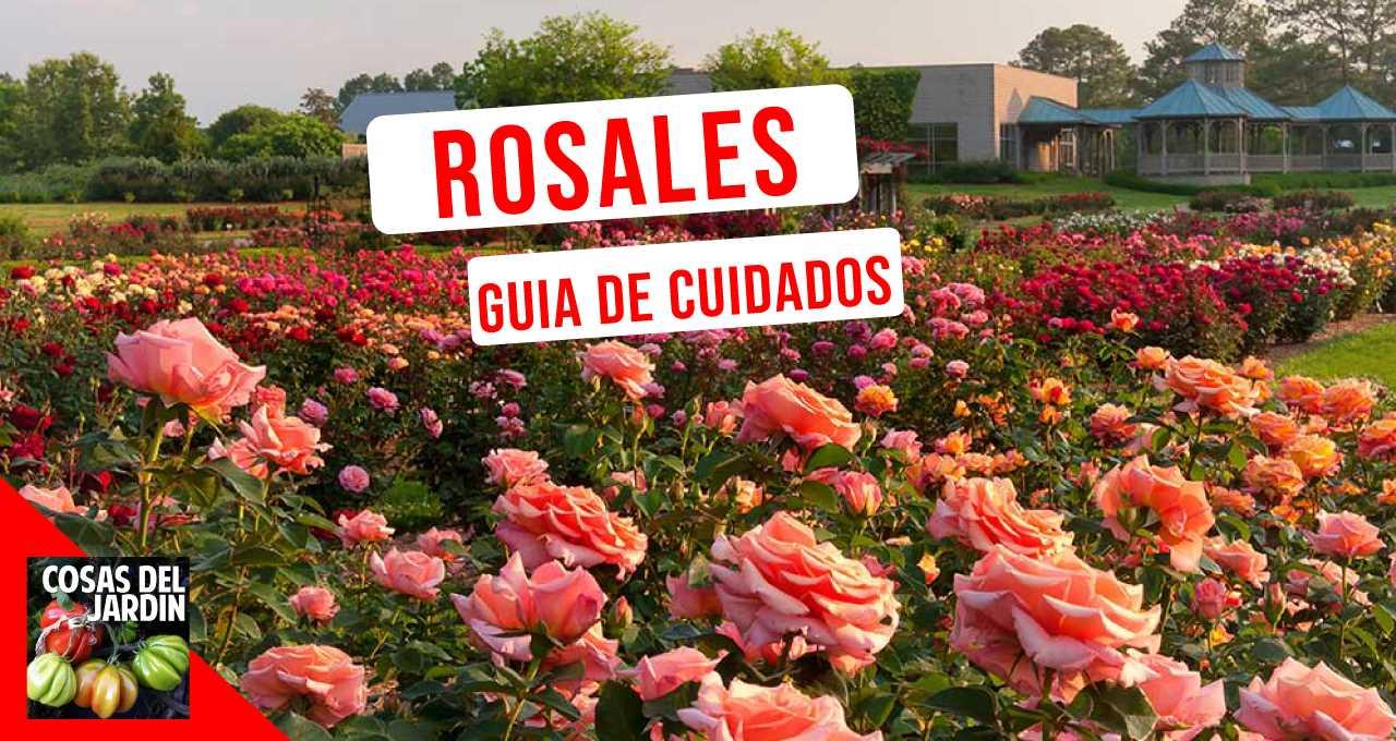 Sigue estos 10 consejos para cultivar con éxito tus rosales favoritos #jardin #jardineria #cultivar #huerto #huerta #huertourbano