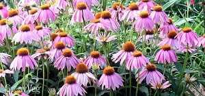 Las flores atraen polinizadores, que la mayoría de las plantas que dan fruto necesitan. Y también atraen insectos depredadores de las plagas del huerto #jardineria #jardin #huerto #huerta #huertourbano #cultivar