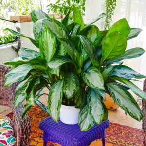 Plantas de Interior de Poca Luz. 18 Plantas de bajo mantenimiento - 10