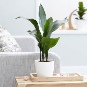 Plantas de Interior de Poca Luz. 18 Plantas de bajo mantenimiento - 9