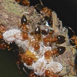 cochinilla algodonosa hormigas Sigue leyendo para saber como eliminar la cochinilla algodonosa y elejir el tratamiento más adecuado para tu situación #huerto #huerta #huertourbano #jardineria #cultivar #jardin