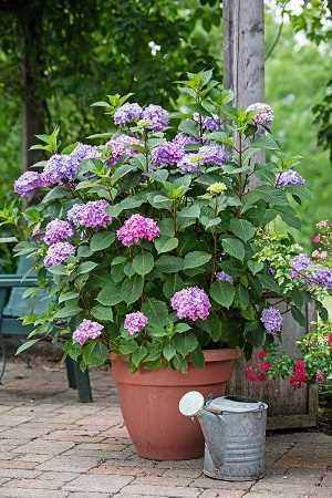 como plantar hortensia en maceta variedades de hortensias Una guía supercompleta donde encontrarás todo lo que necesitas para tener unas hortensias como las de la foto. Plantado, Riego, poda, cambiar el color y más #jardin #jardineria #hortensia #cultivar