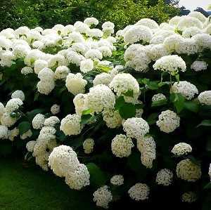 maravillosas hortensias blancas como copos de nieve variedades de hortensias Una guía supercompleta donde encontrarás todo lo que necesitas para tener unas hortensias como las de la foto. Plantado, Riego, poda, cambiar el color y más #jardin #jardineria #hortensia #cultivar
