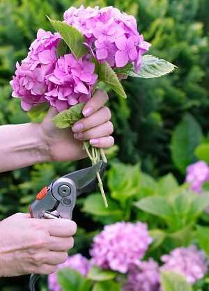 como podar hortensia variedades de hortensias Una guía supercompleta donde encontrarás todo lo que necesitas para tener unas hortensias como las de la foto. Plantado, Riego, poda, cambiar el color y más #jardin #jardineria #hortensia #cultivar