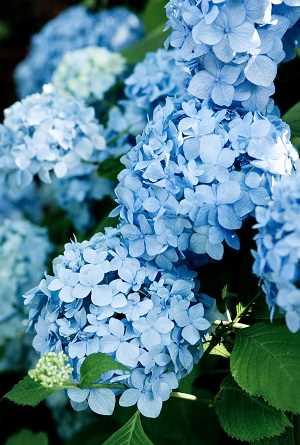 cambiar el color de la hortensia a azul bajando el ph variedades de hortensias Una guía supercompleta donde encontrarás todo lo que necesitas para tener unas hortensias como las de la foto. Plantado, Riego, poda, cambiar el color y más #jardin #jardineria #hortensia #cultivar