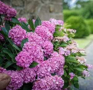 CAmbiar el color a rosado o colorado aumentando el ph variedades de hortensias Una guía supercompleta donde encontrarás todo lo que necesitas para tener unas hortensias como las de la foto. Plantado, Riego, poda, cambiar el color y más #jardin #jardineria #hortensia #cultivar