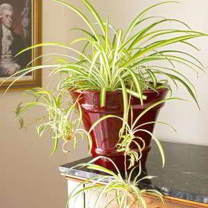 Plantas de Interior de Poca Luz. 18 Plantas de bajo mantenimiento - 16