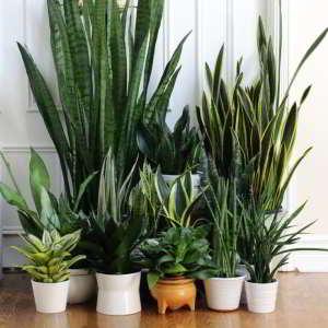 Plantas de Interior de Poca Luz. 18 Plantas de bajo mantenimiento - 18