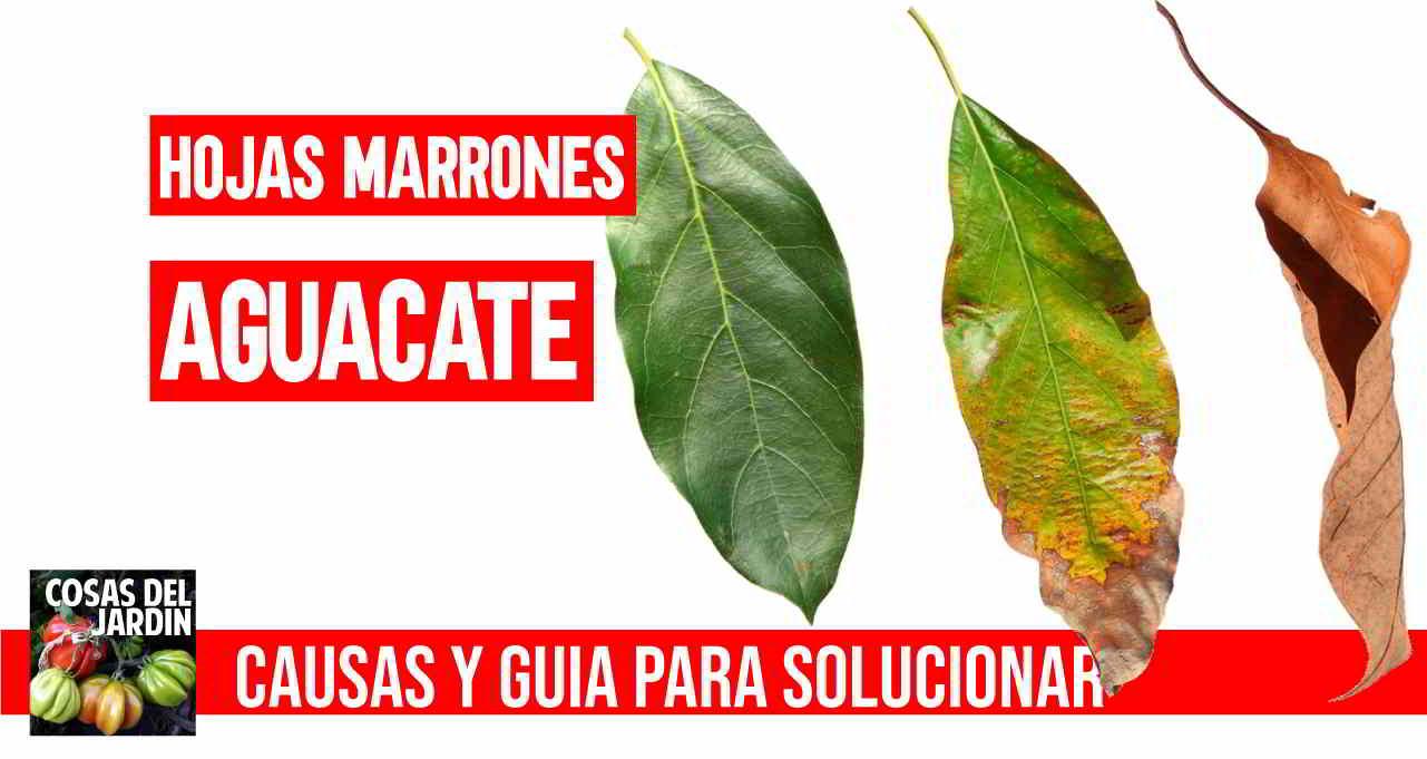 Guia completa para conocer por que tiene tu aguacate hojas marrones y como solucionarlo #huerto #huerta #huertourbano #jardin #jardineria #cultivar