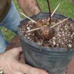 Como plantar un aguacate paso a paso 4