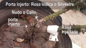 Cómo hacer injertos en Rosas - Paso a Paso - 1