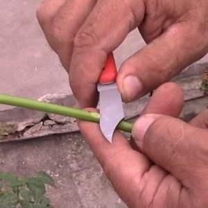 Cómo hacer injertos en Rosas - Paso a Paso - 5