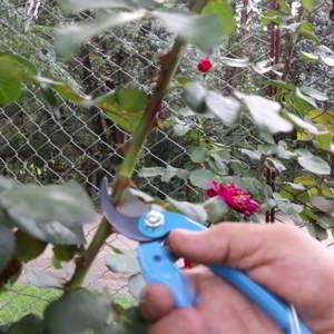 Cómo hacer injertos en Rosas - Paso a Paso - 4