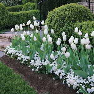 Como y cuando plantar tulipanes - 1