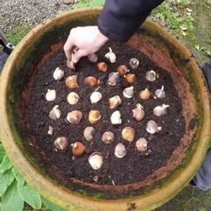 Como y cuando plantar tulipanes - 5