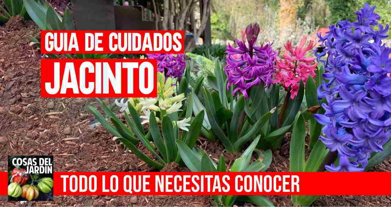 como cuidar el jacinto en tu casa y el jardin